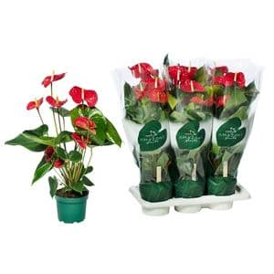 Photo du produit Anthurium rouge