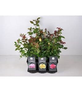 Photo du produit Rosier buisson Pot de 3L
