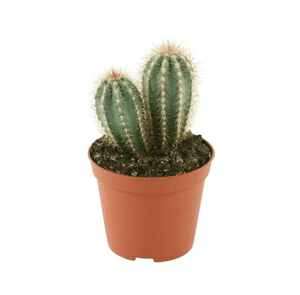 Photo du produit Cactus