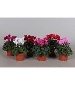 Photo du produit Mini Cyclamen